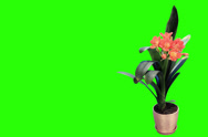 Stock Video Footage of 4K. Growth of Clivia flower buds green screen