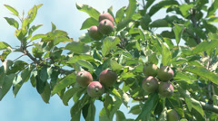 Apples Production-001 Stock Footage