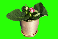 4K. Growth of Gloxinia flower buds green screen Stock Footage