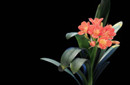 Stock Video Footage of 4K. Growth of Clivia flower buds ALPHA matte