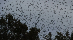 Thousands of starlings fly 89 Stock Footage