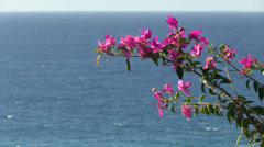 vibrant pink flower with atlantic ocean backdrop Stock Footage