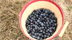 Hands putting blueberries into bucket Stock Footage