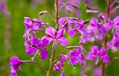 Purple alpine fireweed Stock Photos