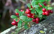 Stock Photo of lingonberry shrub with berries closeup