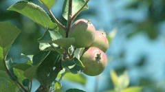 Apples Production-004 Stock Footage