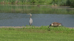 Large birds near the water Stock Footage