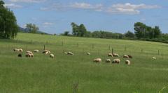 Herd of sheep grazing Stock Footage