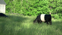 Cows grazing in a large field (1 of 5) Stock Footage