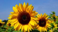 Sunflowers Stock Footage