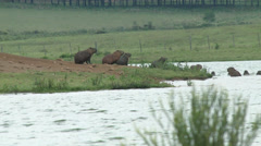 Wild capybaras in the nature Stock Footage