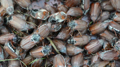 Big pile of brown cockchafer chafer Stock Footage