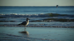 A Seagull in Front of Ocean at Sunrise - stock footage