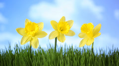 Daffodil flowers in grass with moving clouds Stock Footage