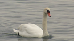Swan on the lake Stock Footage