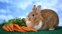 Rabbit with carrots - stock footage