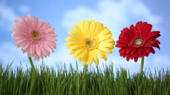 Gerber daisies in grass with clouds moving over Stock Footage