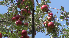 Apple tree against the sky, organic Jonathan fruits, orchard, farm, horticulture Stock Footage