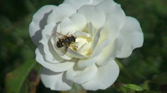 Beautiful white rose in the romantic garden, open rose, bumble bee, closeup - stock footage