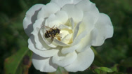 Stock Video Footage of Beautiful white rose in the romantic garden, open rose, bumble bee, closeup