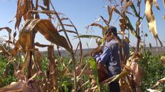 Farmer gathering corn, harvesting corn, organic farm, local produce, corn field Stock Footage