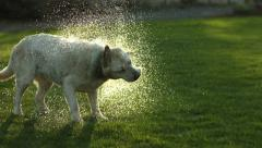 Dog shaking off water, slow motion Stock Footage
