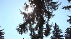 Sun shines through the huge pines Stock Footage
