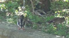 Mallard ducks scratching feathers, wild ducks, birds grazing, summer day Stock Footage