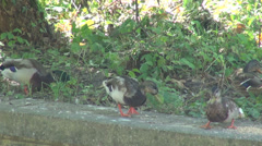 Mallard ducks fighting for food, wild ducks, birds grazing Stock Footage
