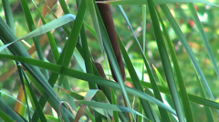 Typha latifolia flower in the wind, bulrush, common cattail, great reed mace Stock Footage