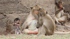 Parent monkey holding onto kids tail Stock Footage