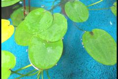 NTSC :lotus leaf fish broth. Stock Footage