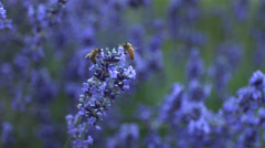 Honey bees on lavender plant, slow motion Stock Footage