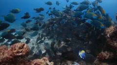 Parrotfish school eating pt 1 Stock Footage
