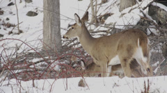 Scenes of Deer in the Snow (2 of 4) Stock Footage