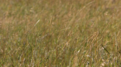 Closeup of grass blowing in wind, slow motion Stock Footage
