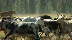 Cowboys on horseback herding cattle - stock footage