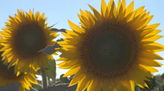 Detail closeup blooming sunflower sun flower sunny day culture fresh yellow  Stock Footage