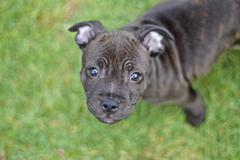 Staffy pup looking up Stock Photos