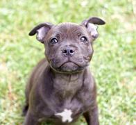 Staffy pup sitting Stock Photos