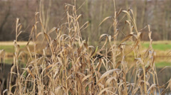 Dry river grass and wind. Stock Footage
