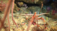 Pipefish white striped Stock Footage