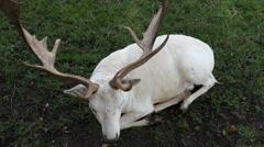 White deer Stock Footage