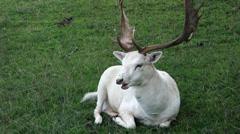 white deer - stock footage