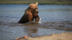 Grizzly bears fishing for salmon, Kamchatka, Russia - stock footage