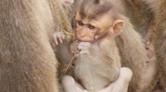 Small monkey eating Stock Footage