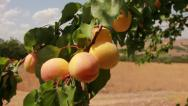 Stock Video Footage of Close up fresh apricots on tree