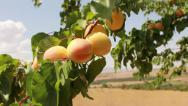 Stock Video Footage of Fresh apricots on tree close up