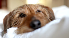 Sleeping puppy awakes. Cute little dog snuggled up in the bedroom Stock Footage