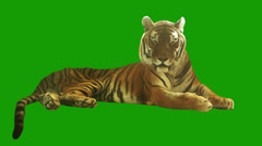 Tired tiger lying on green screen. Stock Footage